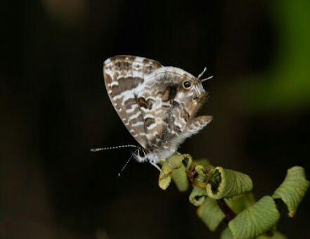 bush bronze butterfly