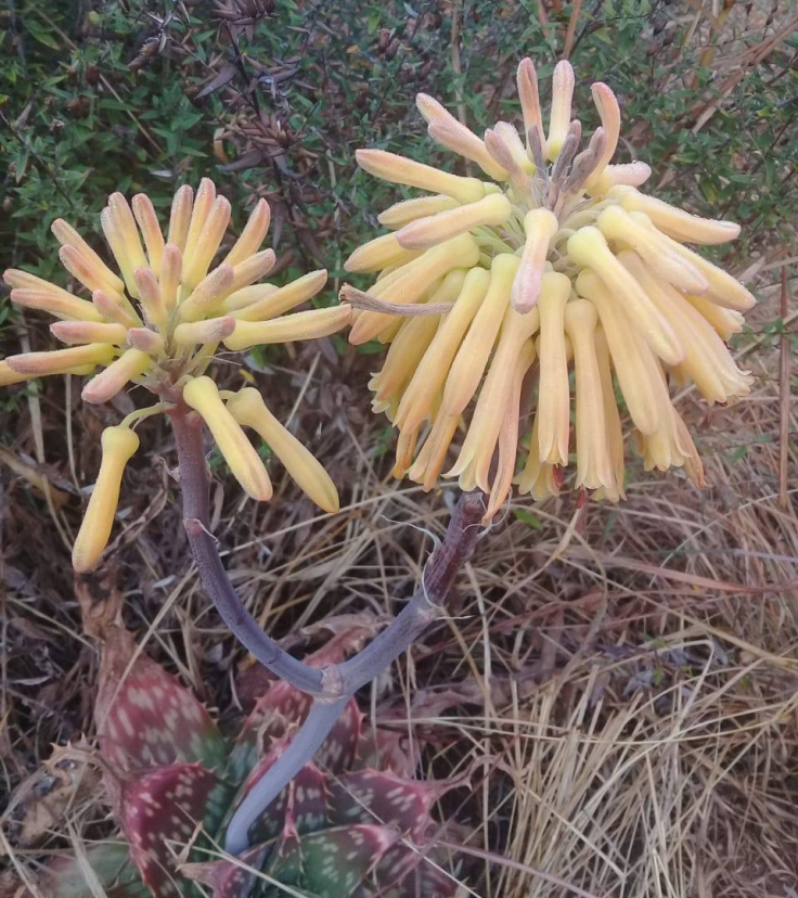 aloe-maculata-4-yellow.jpg