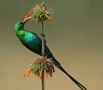 malachite sun bird