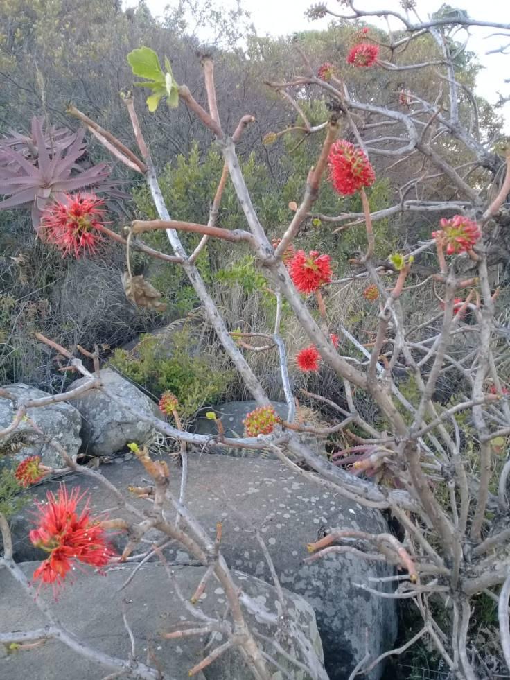 Natal bottlebrush shrub